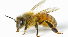 close-up of honeybee