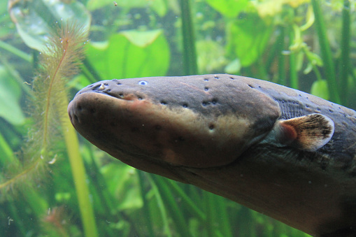 a close-up of an electric eel