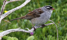 a grey and brown sparrow perched on the branch of an evergreen tree