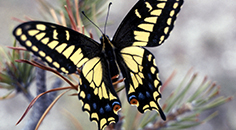 yellow and black swallowtail butterfly on an evergreen branch