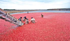six workers harvesting cranberries in a bog