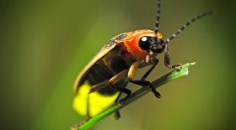 firefly flashing on blade of grass