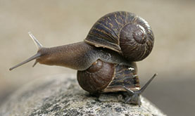 a garden snail with a left-swirling shell atop a smaller garden snail with right-handed snail on a speckled rock