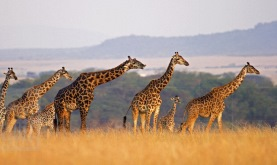 profile view of a family of Masai giraffes of varying sizes standing in a row against the rolling landscape of the Masai Mara National Reserve