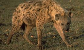a spotted hyena standing on the grass facing the camera