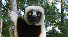a small primate with white head, small black ears, black torso, and black face with yellow eyes hugging a tree trunk