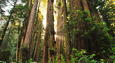 photo of redwood trees with sunlight shining between the trunks