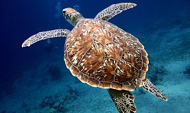 swimming sea turtle with beautiful shell