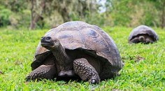 Galapagos tortoises pictured in a meadow on their namesake Galapagos Islands