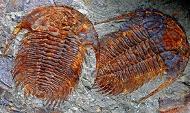 two iron-stained trilobites on a bedding plane slab
