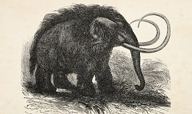engraving of extinct woolly mammoth