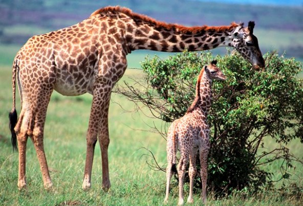 A mother giraffe and her calf eating the leaves off a bush