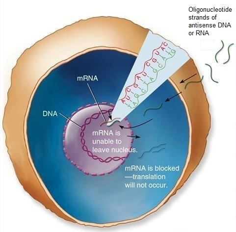 Circular illustration of a cell (DNA and mRNA are labeled) with oligonucleotide strands binding to the mRNA and blocking translation