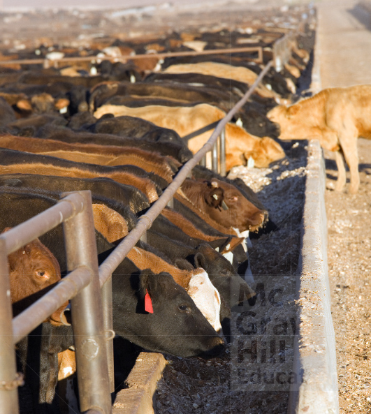 This is a photo of cattle in a feedlot.