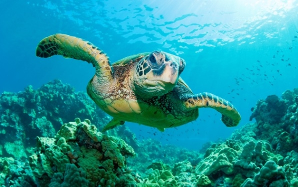 Low-angle view of a green sea turtle swimming toward the camera over coral