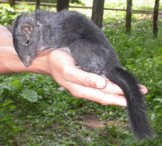 A gray, furry Laotian rock rat being held in a human hand