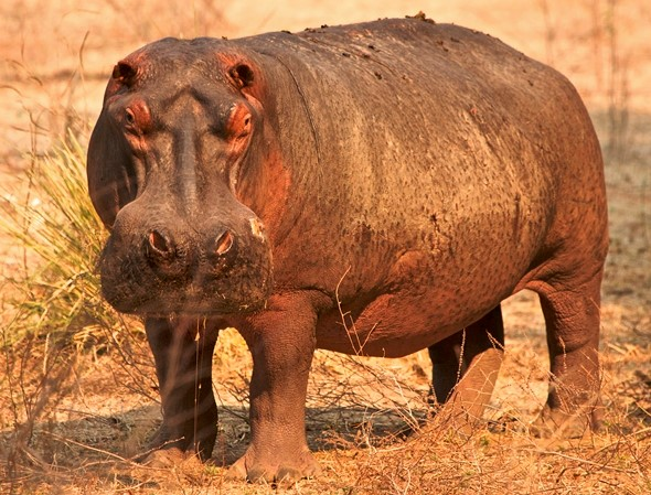 A full-length view of a hippopotamus, with its head turned toward the camera