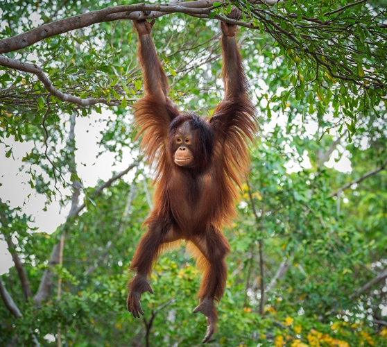 Full-length view of a young female Bornean orangutan hanging from a tree branch in Borneo