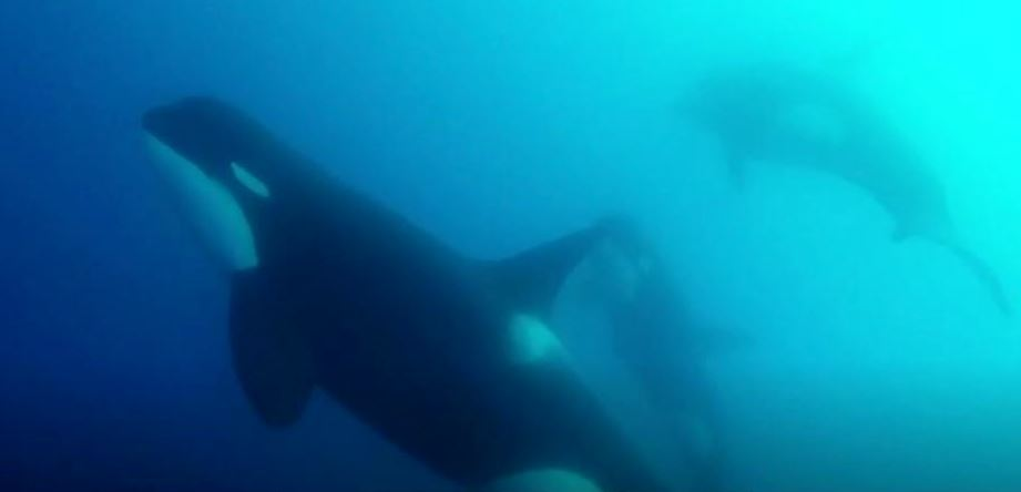 Underwater photo of one orca in the foreground and two orcas in the background