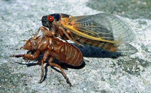 Color photo of a cicada emerging out of its old exoskeleton