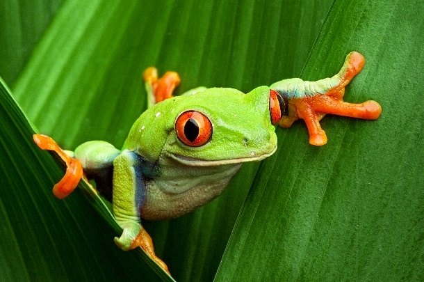 A green tree frog with red eyes sitting in between leaves of a plant