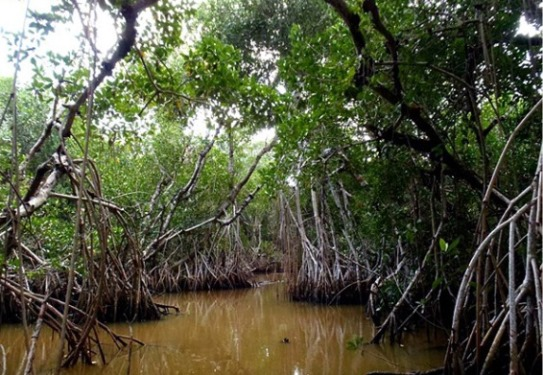 Mangroves with aerial roots rising out of brownish water