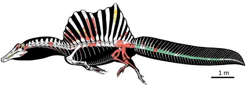 Spinosaurus skeleton, with a sail-like fin on its back and a long oarlike tail; various parts are shaded in red, green, and yellow; a scale bar is included, indicating that the dinosaur was approximately 15 m long