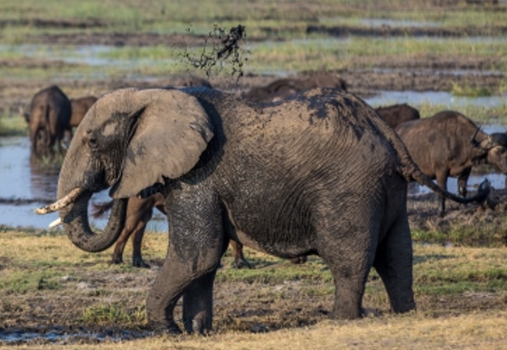 Lateral view of a tusked gray elephant among other wildlife and a water hole in the background