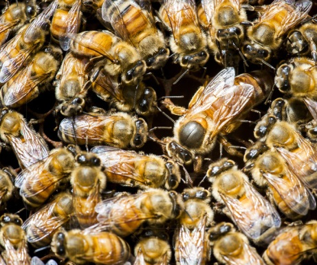 Full-frame view (color photo) of honeybees inside a beehive with the queen bee (larger than the other bees) near the middle