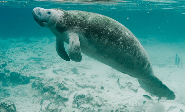 Manatee swimming underwater