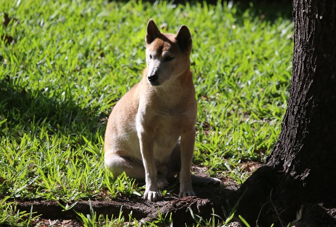 Light-brown New Guinea singing dog, resembling a dingo in appearance, sitting under a tree in the grass
