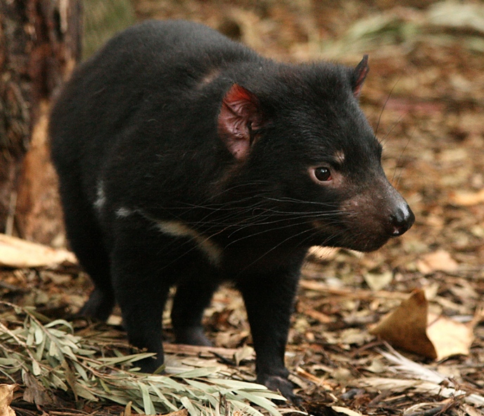 Full-length view of a Tasmanian devil, about the size of a small lapdog and whose fur is predominantly black