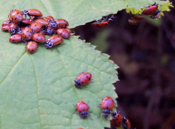 A group of lady beetles (orange in color, with small black spots) on a green leaf