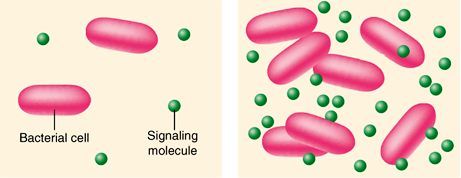Two illustrated panels showing bacterial cells (pinkish ovals) and signaling molecules (small green circles); the left panel has 2 bacterial cells and 4 signaling molecules, whereas the right panel has 7 bacterial cells and 26 signaling molecules.