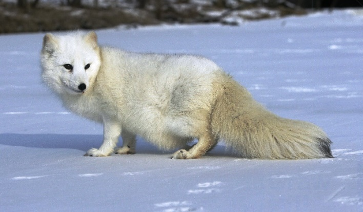 Full-length profile view of a white-furred Arctic fox on snow