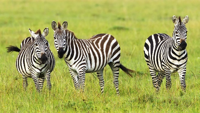 Three zebras standing in a grassy area