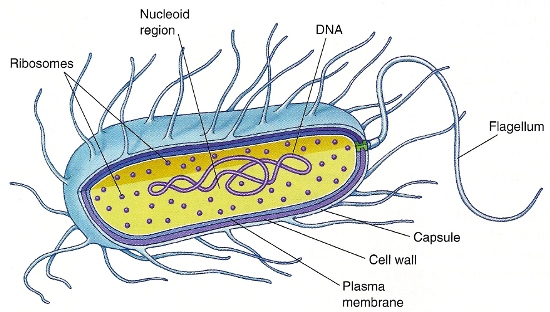 Prokaryote cell with labeled structures