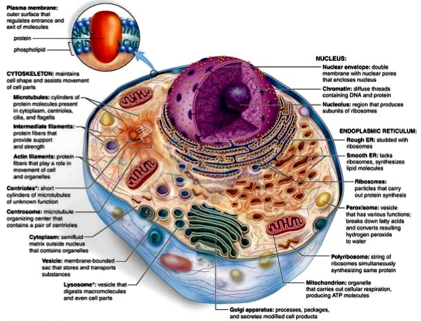 Animal cell with labeled structures
