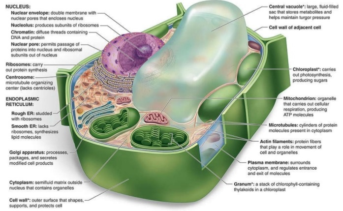 Plant cell with labeled structures