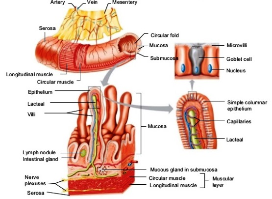 Digestive system - AccessScience from McGraw-Hill EducationAccessScience