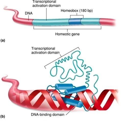 Top: Segment of DNA; the homeotic gene, homeobox, and transcriptional activation domain are labeled. Bottom: Homeotic protein bound to DNA; the DNA-binding domain and transcriptional activation domain are labeled.