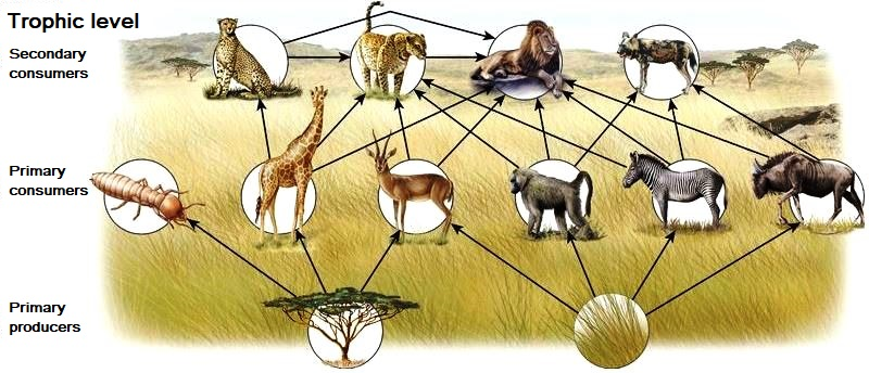 Illustration of a food web with primary producers (tree and grass), primary consumers (insect, giraffe, antelope, baboon, zebra, and wildebeest), and secondary consumers (cheetah, jaguar, lion, and hyena)