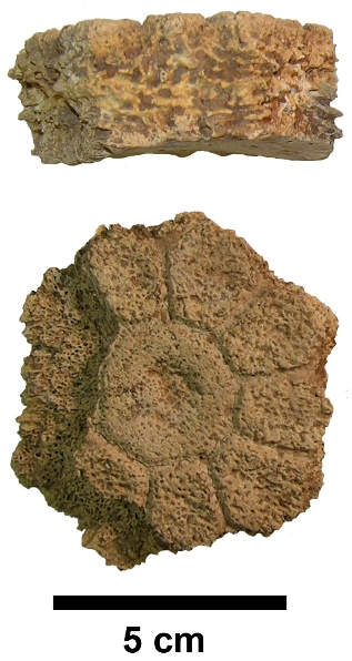 Hexagonal osteoderm in external view and edge-on view; scale bar = 5 cm