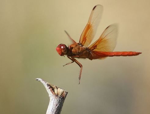 Side view of an orange dragonfly hovering over a stick