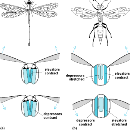 Illustrations of (left) a dragonfly with direct flight muscle and (right) a typical fly with indirect flight muscle; close-up illustrations of the wings are displayed, which show when the elevator and depressor muscles are contracted or stretched