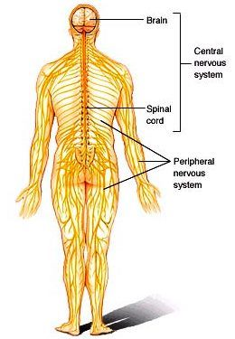 Illustration of the human body (upright position, from the back) showing the brain, spinal cord, and nerves; the central and peripheral nervous systems are labeled
