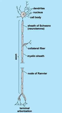 Illustration of a vertical neuron; various structures are labeled