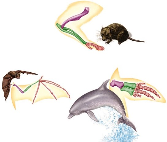 Color illustration of a bat, rodent, and dolphin, with the associated limb modification (skeletal form)