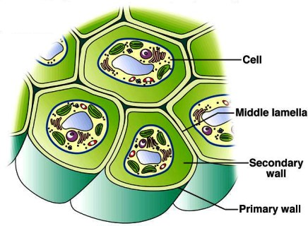 Plant cell - AccessScience from McGraw-Hill Education