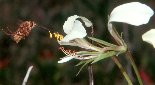 Photo of a meganosed fly (brown) inserting its very long proboscis into a white flower
